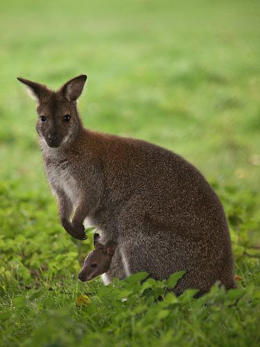 wallaby avec bébé dans sa poche