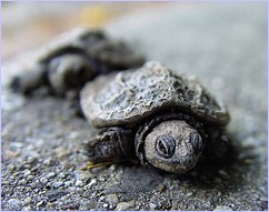 March of the Baby Turtles - Clearly Ambiguous - CC-BY