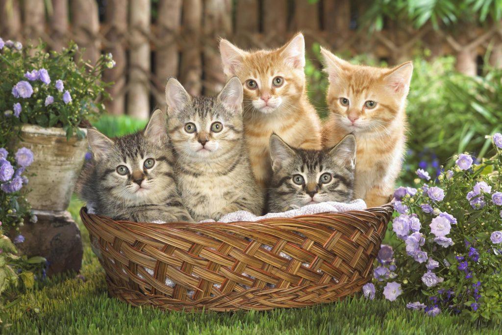 """photo de chatons mignons dans leur panier, image très """"calendrier des postes""""."""