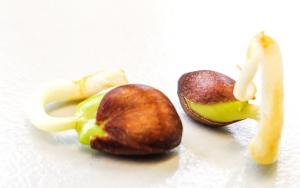 pépins de pomme en germination